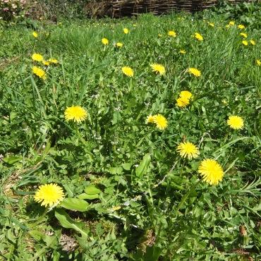 """fleurs de pissenlit """"dent de lion"""""""