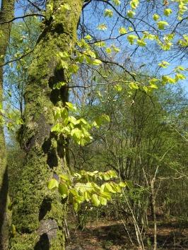 Ephémère, le vert tendre des jeunes feuilles du hêtre ...