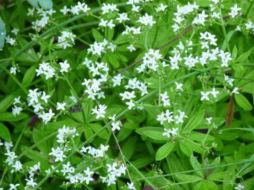 aspérule odorante : la jolie reine de mai