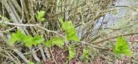 jeunes feuilles d'aubépine