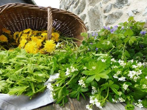 Cueillete de mai: fleurs de pissenlits, sommités fleuries de lierre terrestre, jeunes pousses de Douglas et aspérule odorante.