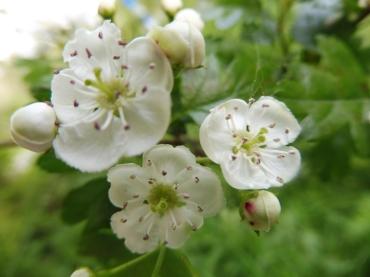 Fleurs d'aubépine à 2 styles.