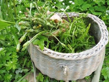 Récolte de jeunes pousses de tamier et boutons floraux de salsifis des prés.